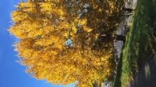 黄色树叶自然风景
