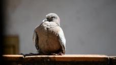 鸽子鸟类视频素材