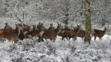 冬季雪景风景动物鹿视频