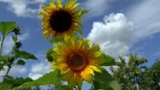 太阳花向日葵视频素材