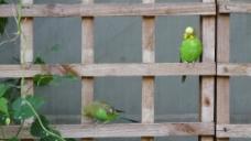 木架子鹦鹉视频素材