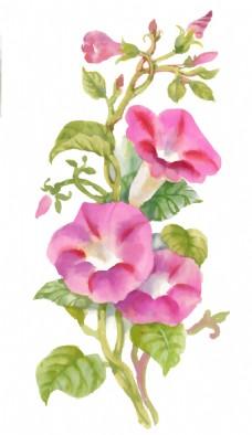 粉色牵牛花植物花朵水彩手绘矢量文件