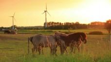 马群吃草实拍视频