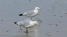 沙滩觅食小鸟视频