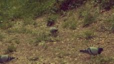 实拍鸽子草坪视频