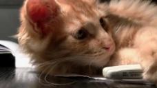黄色斑点宠物猫咪视频