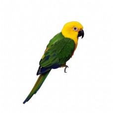 绿色羽毛鹦鹉元素