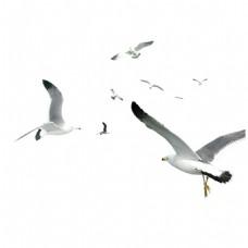 白鸽飞鸟天空元素