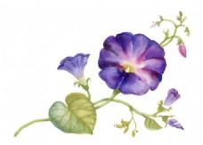 紫色喇叭花植物花朵水彩手绘矢量文件