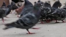 和平鸽子视频拍摄