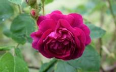 浪漫玫瑰花唯美