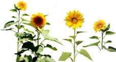 手绘向日葵花朵元素
