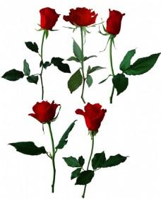 手绘玫瑰花朵元素