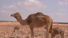 沙漠骆驼视频素材