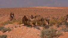沙漠动物风景视频