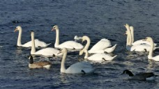 鸭子河流视频素材