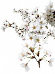 清新白色花朵元素