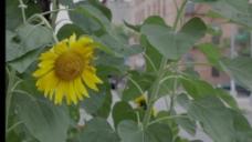 向日葵花卉视频