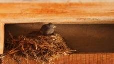 小鸟鸟巢视频素材