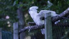 实拍白色鹦鹉视频
