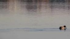 河面上的鸭子视频