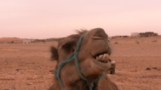 沙漠骆驼特写视频