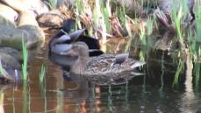 小河沟的鸭子视频