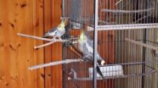 鹦鹉鸟儿鸟笼视频
