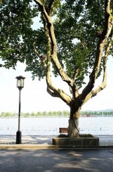 西湖边的梧桐