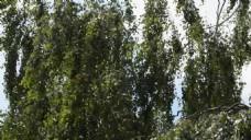 柳树树木视频素材