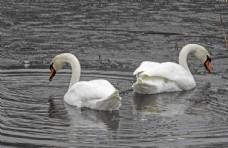 水中两只白天鹅