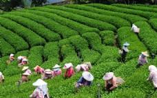 台湾阿里山高山茶园