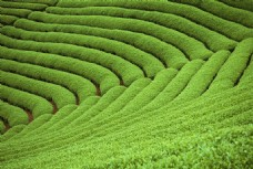 山坡茶山茶园