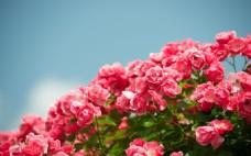 浪漫红色花朵背景