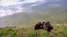 河边动物水面视频