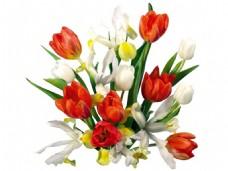 手绘郁金香花朵元素