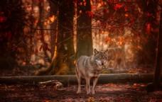 森林夕阳狼野生动物背景