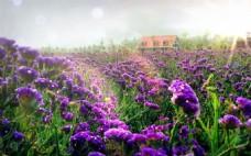 紫色花海浪漫背景