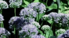紫色花朵元素视频设计