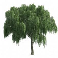 小清新柳树植物元素