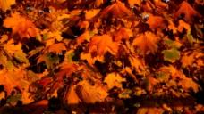 秋季枫叶视频素材