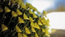 黄色花卉盛开延时摄影