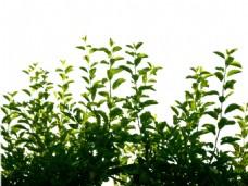 小清新绿色树叶元素