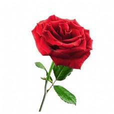 玫瑰花元素素材