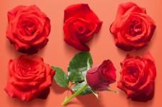 七夕情人节玫瑰花元素