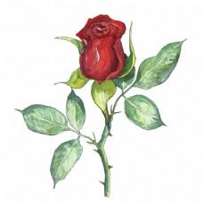 水彩绘红色玫瑰花插画