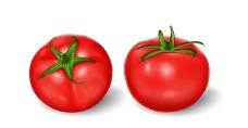 写实风格多汁西红柿插图