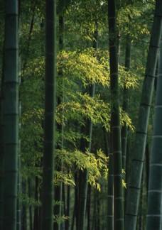 阳光下竹林里翠绿的竹叶