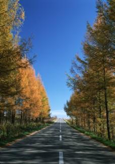公路旁的两排黄叶柏树