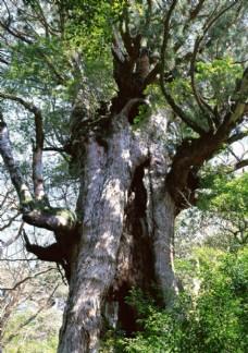 森林里粗壮的古树树干